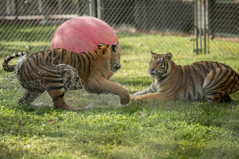 Tigers Playing At The Big Cat Habitat